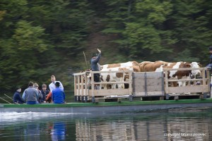 Kühe auf einem Floß am Königssee