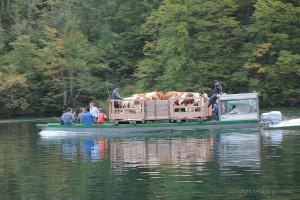 Kühe auf einem Floß auf dem See