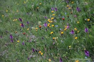 Wunderschöne Bergblumenwiese in üppiger Vielfalt