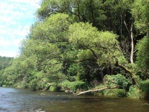 Fluss mit überhängender Weide