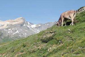 Kuh mit Gelbhorn