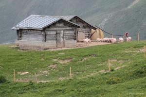 Glückliche Schweine auf der Alp Curtginatsch