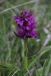 Purpur-Knabenkraut, eine Orchidee