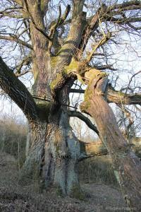 Jeder Ast so dick wie ein Baum