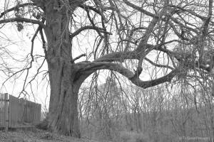 Zweite Linde am Judenfriedhof