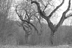 Alte Walnussbäume