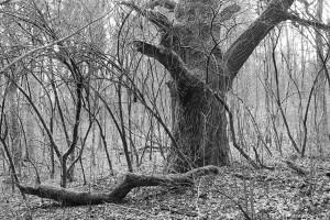 Eiche im Holundergebüsch