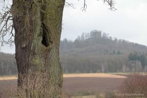 Alte Eiche und Burgruine Strauf