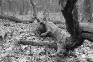 verrottender Eichenast am Waldboden