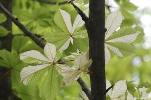 Kastanie mit weißen Blättern
