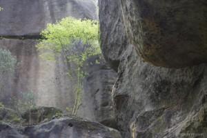 Felswand mit Birke