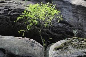 Eine junge Birke in der Felswand