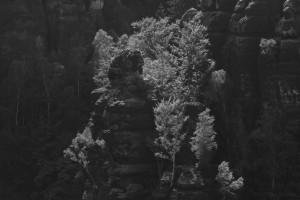 Im Gegenlicht leuchtende Birken