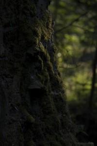 Bemooster Stamm einer alten Birke