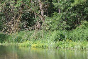 Uferbewuchs