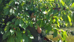 Kirschbaumäste hängen bis zum Wasser